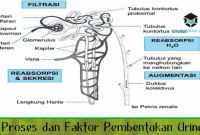 3 Proses dan Faktor Pembentukan Urine