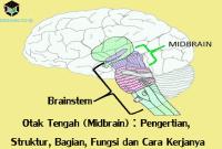 Otak Tengah (Midbrain) : Pengertian, Struktur, Bagian, Fungsi dan Cara Kerjanya