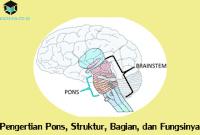 Pengertian Pons, Struktur, Bagian, dan Fungsinya