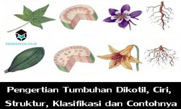 Pengertian Tumbuhan Dikotil, Ciri, Struktur, Klasifikasi dan Contohnya