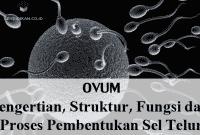 Ovum: Pengertian, Struktur, Fungsi dan Proses Pembentukan Sel Telur