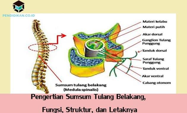 Pengertian Sumsum Tulang Belakang, Fungsi, Struktur, dan Letaknya