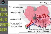 Alveolus : Pengertian, Fungsi, Ciri dan Struktur Bagiannya