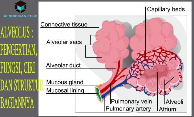 Alveolus Pengertian Fungsi Ciri Dan Struktur Bagiannya