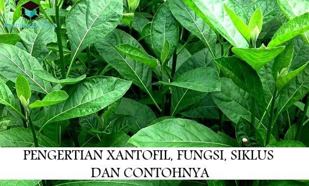 Pengertian Xantofil, Fungsi, Siklus Dan Contohnya