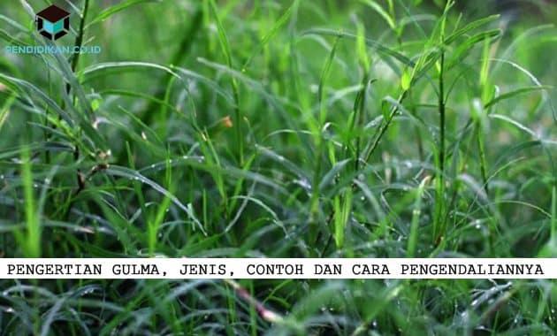 Pendidikan.Co.Id - Saat ini kita akan membahas mengenai Gulma, gulma sendiri adalah tumbuhannya yang tidak diinginkan berada dilahan pertanian tentu karena ada sebab, mau tau sebabnya apa dan cara menangulanginya dibawah ini akan dijelaskan : Pengertian Gulma Gulma merupakan suatu tumbuhan yang kehadirannya tidak diinginkan berada dilahan pertanian dikarenakna gulma ini dapat menurunkan hasil yang dapat dicapai oleh tanaman produksi. Keberadaan dari gulma ini sangat mengganggu tanaman produksi disebabkan karena gulma ini mengganggu pertumbuhan dari tanaman produksi. Jenis-Jenis (Klasifikasi) Gulma Dibawah ini akan dijelaskan Macam jenis gulma dengan beberapa dasar, diantaranya sebagai berikut : Berdasarkan karakteristiknya Dengan berdasarkan karakteristiknya gulma ini dibedakan menjadi: Rumput Gulma merupakan jenis rumput memiliki ciri berdaun sempit seperti teki namun tetapi menghasilkan stolon. Stolon di dalam tanah tersebut memiliki bentuk jaringan rumit yang sulit diatasi dengan secara mekanik. Kebanyakan dari golongan gulma rerumputan berasal dari famili gramineae (poaceae). Contoh dari gulma rerumputan ialah Panicium repens, Eleusine indica, Axonopus compressus. Gulma rerumputan ini memiliki ukuran yang bervariasi. Mulai dari tegak, menjalar, hidup semusim, atau juga bahkan tahunan. Batang rerumputan ini disebut dengan sebutan culms, terbagi menjadi ruas dengan buku-buku yang terdapat antara ruas. Batang tumbuh bergantian pada dua (2) buku pada tiap-tiap antara ruas daun terdiri dari dua bagian yakni pelepah daun serta juga helaian daun. Teki Gulma yang satu ini memiliki daya tahan luar biasa terhadap pengendalian mekanisme, sebab memiliki umbu batang di dalam tanah yang bisa bertahan selama berbulan-bulan. Contohnya dari teki ini adalah teki ladang (Cyperus rotundus). Kebanyak dari golongan teki-tekian ini berasal dari famili Cyperaceae. Dilihat dari penampakannya, jenis gulma yang satu ini mempunyai bentuk hampir mirip seperti golongan rerumputan. Perbedaann