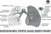 Pengertian Bronkus, Struktur, Bagian, Beserta Fungsinya