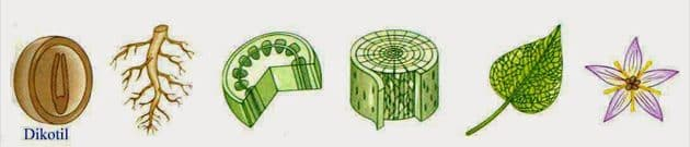 Pengertian Tumbuhan Dikotil, Struktur, Ciri, dan Contohnya