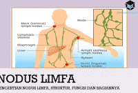 Pengertian Nodus Limfa, Struktur, Fungsi dan Bagiannya