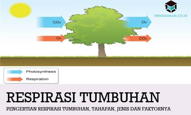 Pengertian Respirasi Tumbuhan, Tahapan, Jenis dan Faktornya