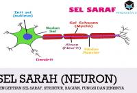 Pengertian Sel Saraf, Struktur, Bagian, Fungsi dan Jenisnya