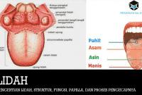 Pengertian Lidah, Struktur, Fungsi, Papilla, dan Proses Pengecapnya