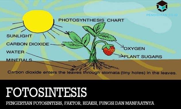 Pengertian Fotosintesis, Faktor, Reaksi, Fungsi dan Manfaatnya