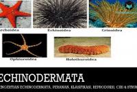Pengertian Echinodermata, Peranan, Klasifikasi, Reproduksi, Ciri dan Struktur