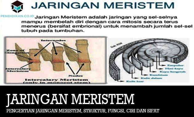 Pengertian Jaringan Meristem, Struktur, Fungsi, Ciri dan Sifat
