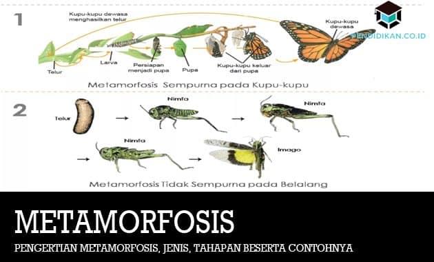 Pengertian Metamorfosis, Jenis, Tahapan Beserta Contohnya