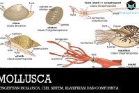 Pengertian Mollusca, Ciri, Sistem, Klasifikasi dan Contohnya