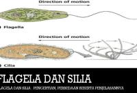 Flagela dan Silia : Pengertian, Perbedaan Beserta Penjelasannya