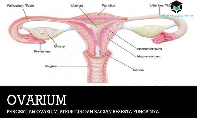 Pengertian Ovarium, Struktur dan Bagian Beserta Fungsinya