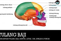 Pengertian Tulang Baji, Bentuk, Letak, Ciri, Jumlah & Fungsi