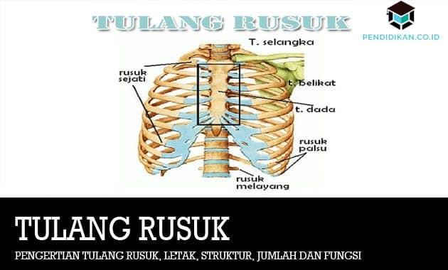 Pengertian Tulang Rusuk, Letak, Struktur, Jumlah dan Fungsi