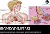 Pengertian Bronkiolus, Ciri, Fungsi, Letak dan Strukturnya