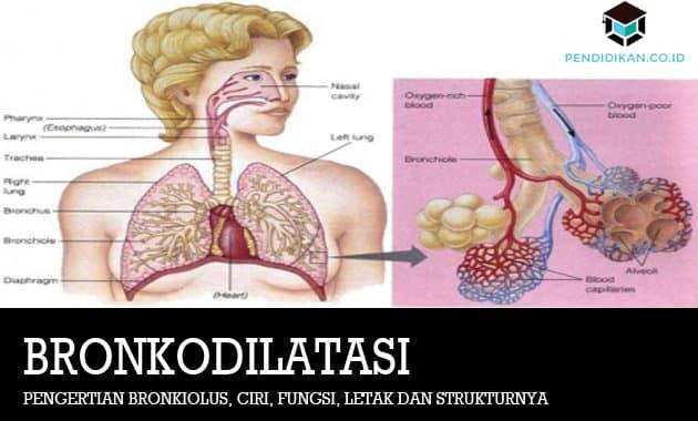 Pengertian Bronkiolus Ciri Fungsi Letak Dan Strukturnya