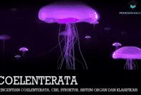 Pengertian Coelenterata, Ciri, Struktur, Sistem Organ dan Klasifikasi