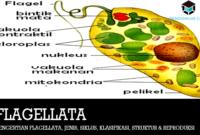 Pengertian Flagellata, Jenis, Siklus, Klasifikasi, Struktur & Reproduksi