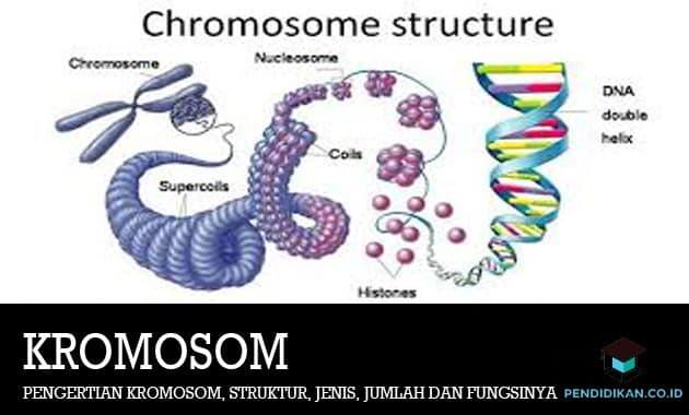 Pengertian Kromosom, Struktur, Jenis, Jumlah dan Fungsinya