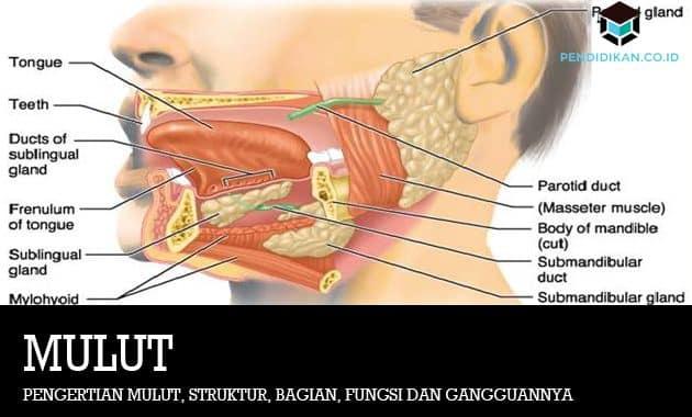 Pengertian Mulut, Struktur, Bagian, Fungsi dan Gangguannya