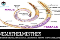 Pengertian Nemathelminthes, Fungsi, Ciri, Struktur, Peranan, Contoh dan Klasifikasi