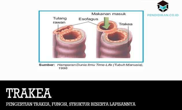 Pengertian Trakea, Fungsi, Struktur Beserta Lapisannya
