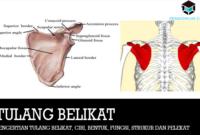 Pengertian Tulang Belikat, Ciri, Bentuk, Fungsi, Strukur dan Pelekat