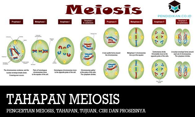 Pengertian Meiosis, Tahapan, Tujuan, Ciri dan Prosesnya
