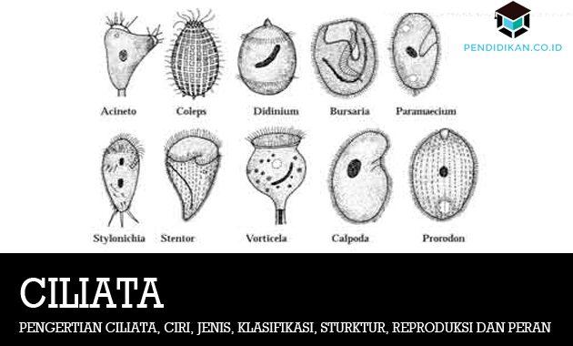 Pengertian Ciliata, Ciri, Jenis, Klasifikasi, Sturktur, Reproduksi dan Peran