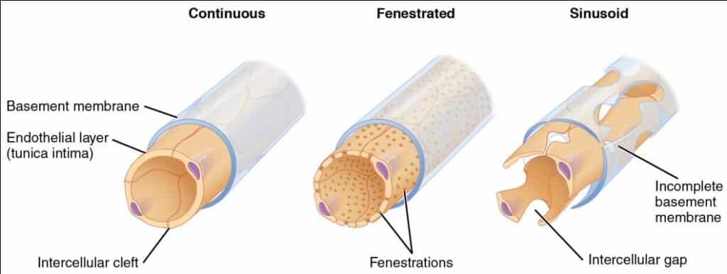 Fenestrated-Kapiler