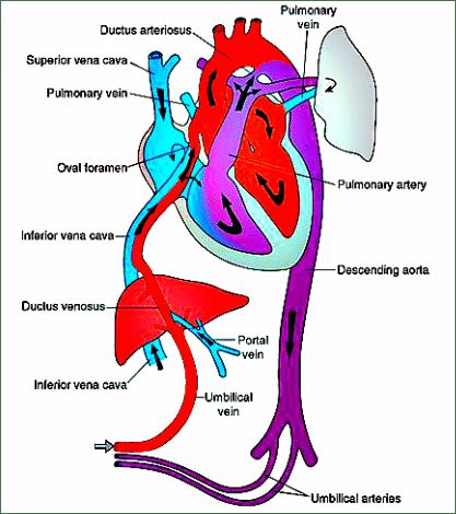 Ligament-remnant-fetal