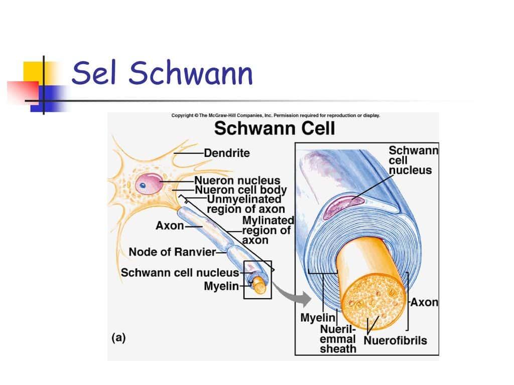 Pengertian-Sel-Schwan