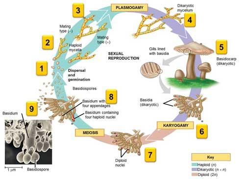 Siklus-Hidup-Basidiomycota