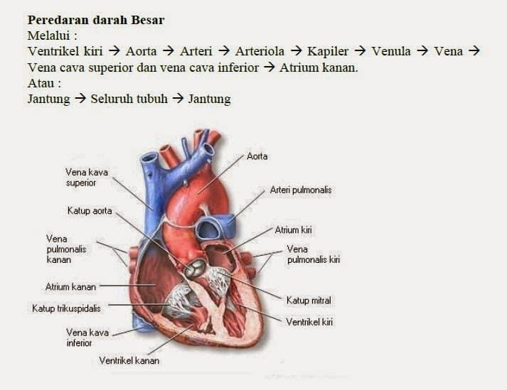 peredaran-darah