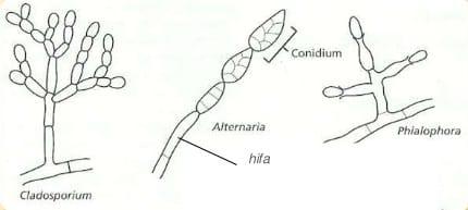struktur-deuteromycota