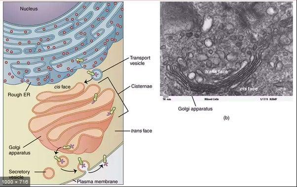 Fungsi-Badan-Golgi