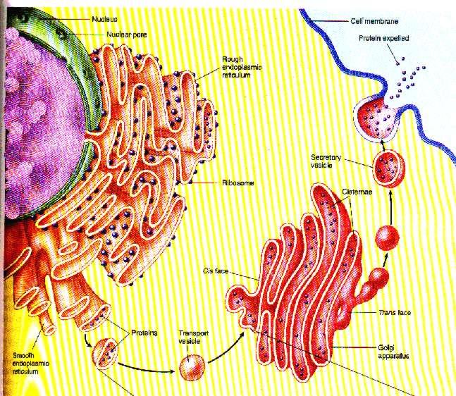 Komponen-Badan-Golgi