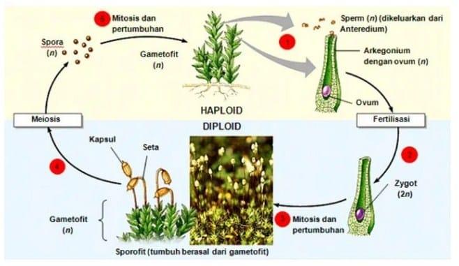 Metagenesis-Tumbuhan-Lumut
