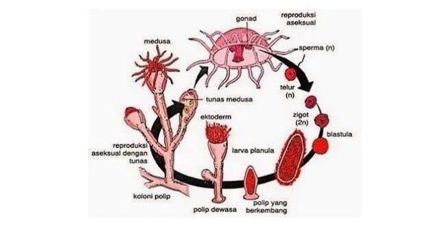 Metagenesis-Ubur-ubur