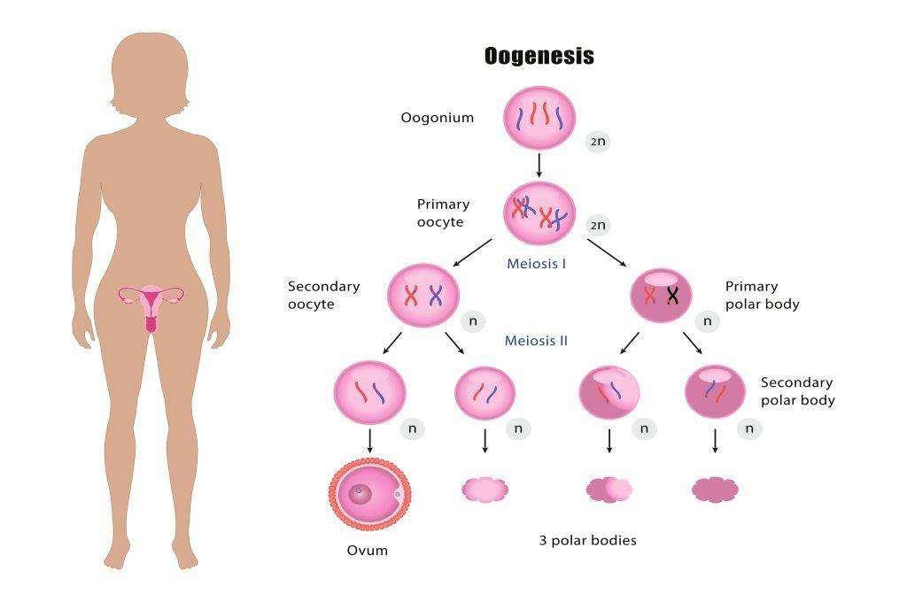Proses-Oogenesis