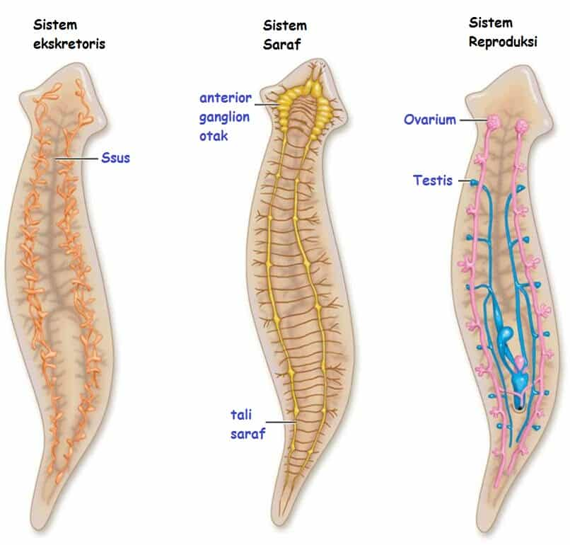 Sistem-Organ-Platyhelminthes