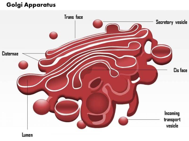 Struktur-Badan-Golgi