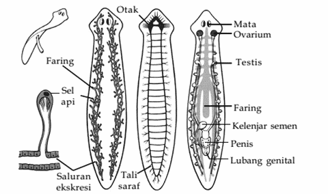 Struktur-Tubuh-Platyhelminthes
